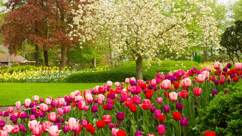 march garden with tulips and flowering tree