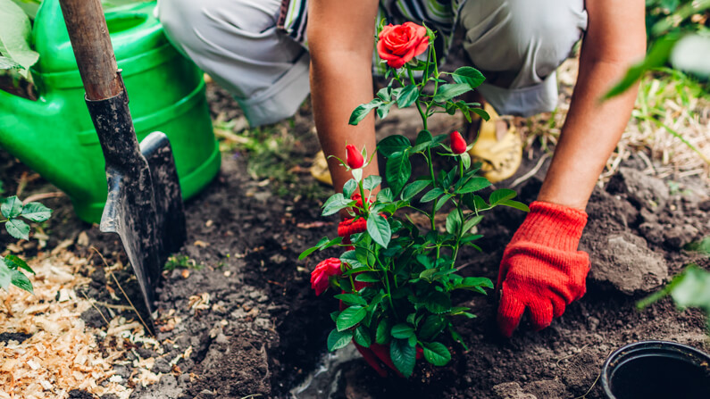 woman planting rose in may garden - what to plant in may